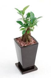 foliageplant_banyan