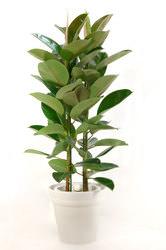 foliageplant_rubbertree